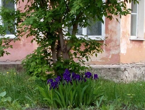 Iris_lilac